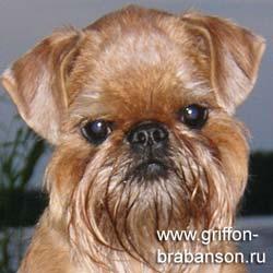 bryusselskii-grifon_250
